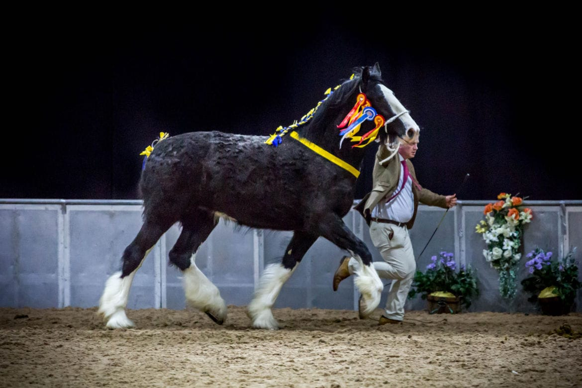 Shire Horse National Championships 2016
